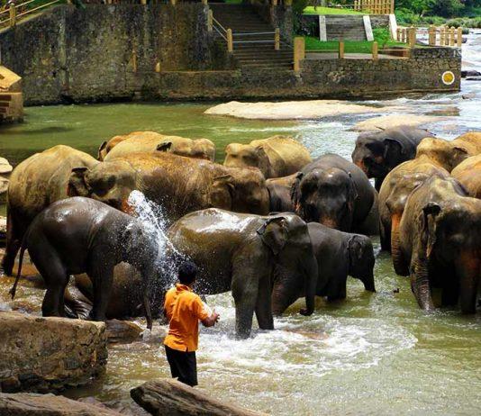 pinnawala-elephant-orphanage-8