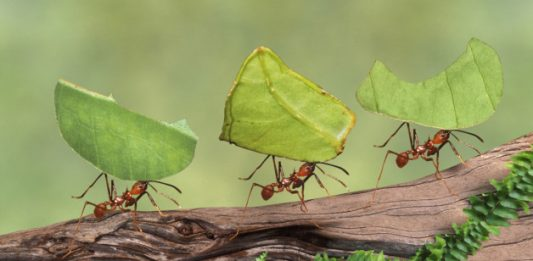 Leaf cutter ants (Atta cephalotes) carrying leaves, close-up