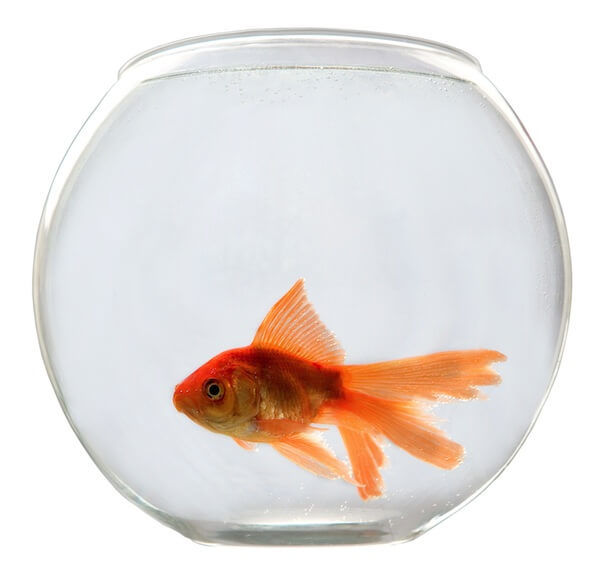 A Single Goldfish