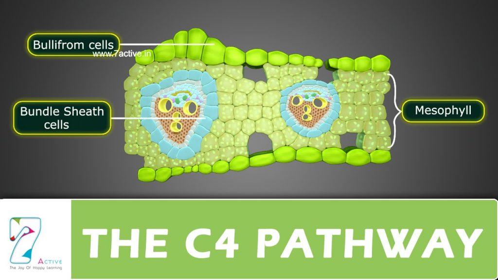 C4 Pathway cells